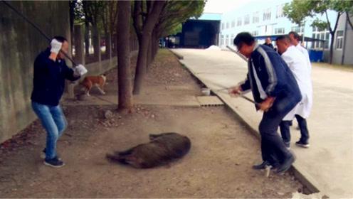 野猪闯工厂引50多人围捕 网友:本想觅食结果进了铁笼