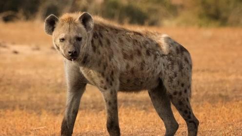 鬣狗虽然不是狗,但比较像狗,不过为啥不讨人喜欢?