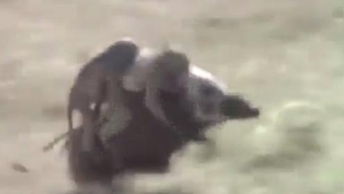 非洲人训练猴子抓野猪,这画面笑得我肚子疼,镜头记录全过程