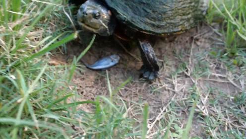 乌龟真的爬得很慢吗?男子河边喂食,三只乌龟抢的一个比一个快