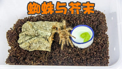 实验:把蜘蛛饿几天之后放芥末给它,它会吃吗?吃完会怎样呢?