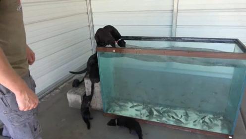 水貂宝宝围着鱼缸,想进去抓鱼吃,看着也太可爱了!