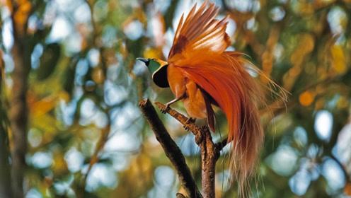 """国外发现""""活体凤凰"""",尾羽如同火焰,来自天堂的神鸟"""