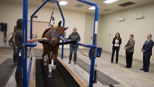 马的速度究竟有多快?马在跑步机上速度调到最快,镜头拍下全过程