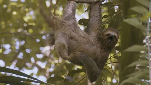 世上最懒的野生动物,浑身长满植物,遇到危险每秒爬行0.2米