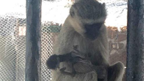 南非母猴生下死胎伤心欲绝 怀抱10天不愿放手