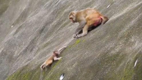 刚出生的猴子没办法生存,猴妈忍痛将它从高坡丢下,镜头记录瞬间