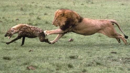 狮子咬断鬣狗后腿,在其身后穷追不舍,鬣狗:能给个痛快不?