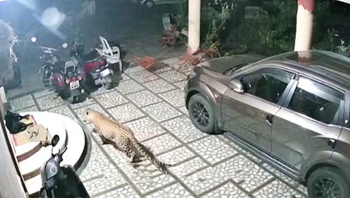 一头花豹闯进居民区,看到狗子正在熟睡,直接一口咬了过去!