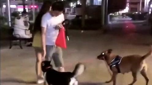 带哈士奇出门遛狗,竟然被别人的马犬给带走了,祸害别人去吧!