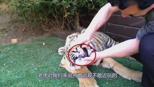 男子给老虎拔蛀牙,这需要多大的勇气,让人佩服!
