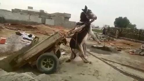 这卸货的方法,简直毫无防备,驴:下次再这样,老子不干了!