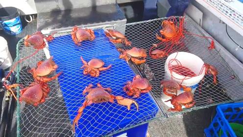 这又是什么捕蟹法?螃蟹都挂在网板就上来了!