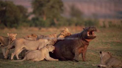 难以置信!河马大战狮群,战斗从白天持续到黑夜!