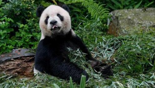 """世界上最""""无奈""""的熊猫,只能以仙人掌为食,一辈子都没到过中国"""