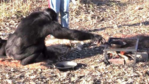 """猩猩界的""""大厨"""",自己做饭20年,味道比人做的好吃"""