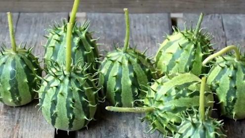 谁说世界上的蔬菜都一样?老外的黄瓜我们就没见过,真是长见识了