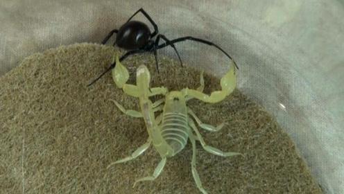 沙漠蝎子PK黑寡妇蜘蛛,究竟孰强孰弱?镜头记录精彩过程!