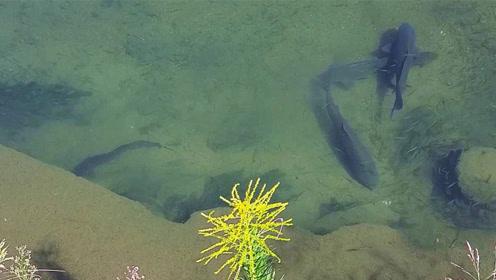野湖边发现好几条大货嬉戏,有人靠近也不害怕!