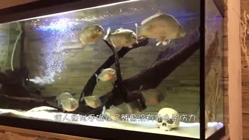 将鲤鱼丢进食人鱼群中,会被当做同类吗,结局让人意想不到