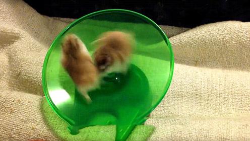 小仓鼠玩转轮,速度太快把同伴都甩出去了,看完忍住别笑!