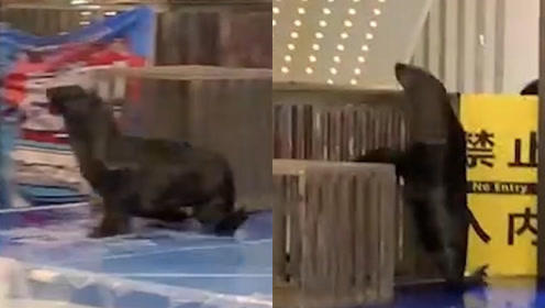 商场表演活动海狮越狱被员工举筐抓回 海狮:不想营业,太难了