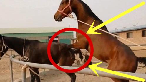 这是发情期到了吗?公马浑身躁动不安,替牵马的大哥捏把汗!
