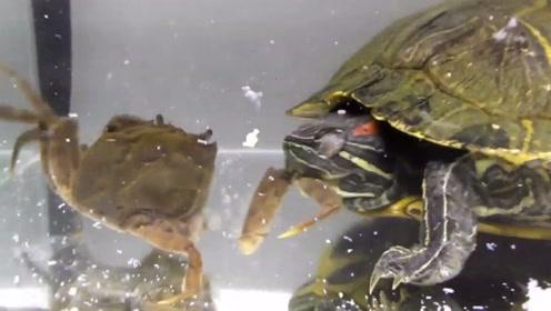 饿了10天的巴西龟,遇到一只螃蟹,下秒意外发生!