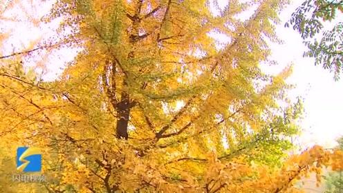 层林尽染如诗如画! 枣庄滕州千棵银杏进入观赏期