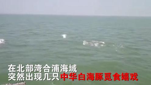 """萌翻啦!中华白海豚集体""""亮相""""北部湾,不时地跃出水面觅食嬉戏"""