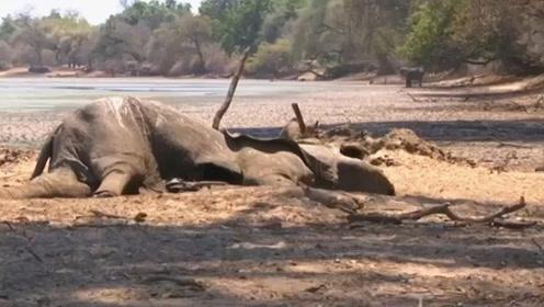 200头大象死于致命干旱 津巴布韦将迁移大批野生动物