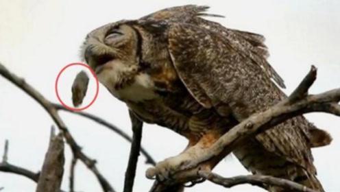 老人经常说,猫头鹰在临死前会吐出一个毛球,这到底是什么?