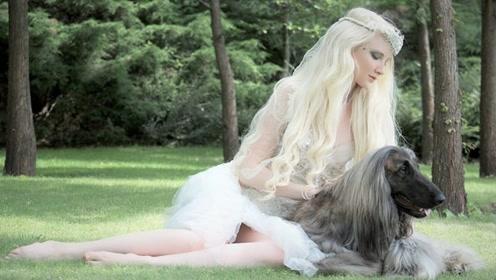 这么拉风的阿富汗猎犬,就该被禁养,你有被迷到吗?