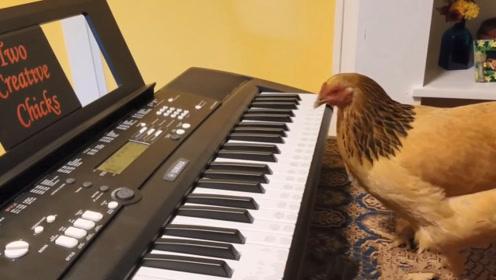 主人不在家,母鸡偷偷跳上琴桌,鸡:铲屎的平时就这么弹的吧?