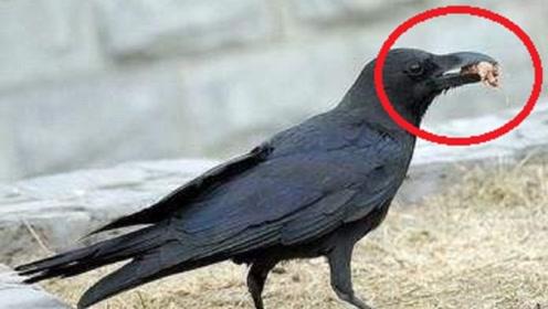 乌鸦口渴想喝水,但是却打不开瓶盖,乌鸦的聪明让我不敢相信自己的眼睛!