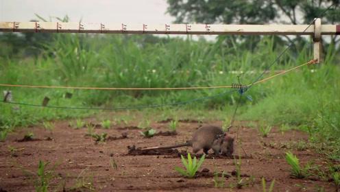 一只老鼠顶100人,每年救上万条人命,被当地人称为大英雄!