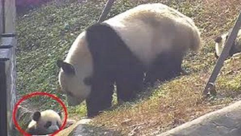 熊猫一掌将宝宝推到沟里,突然想起是自己亲生的,接下来憋住别笑