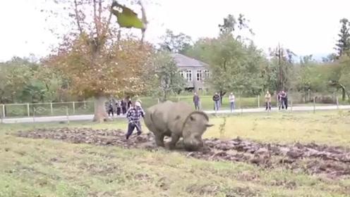 犀牛是牛水牛也是牛,既然都是牛,那么犀牛应该也可以耕地!