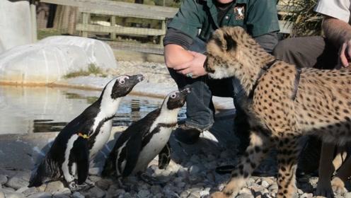 企鹅第一次看到猎豹,开心跑了过去,下一秒忍住别笑!