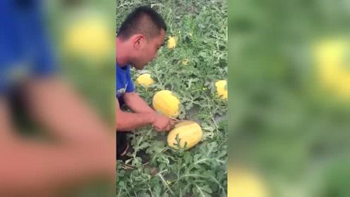 朋友种植的西瓜,一刀切下去,我决定弄走几个!
