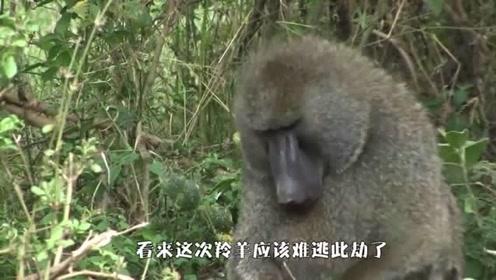 猴子欺负小羚羊,羚羊妈妈直接怒了,对着猴子就是含怒一击