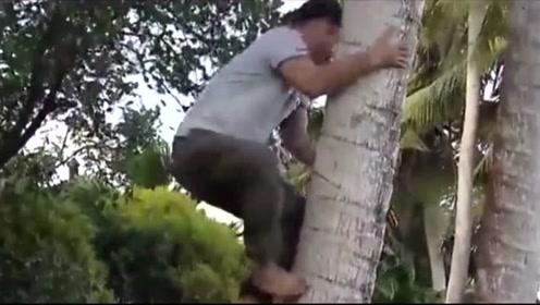 椰树种植者的辅助神器,从此上树没压力,劳动人们的智慧!