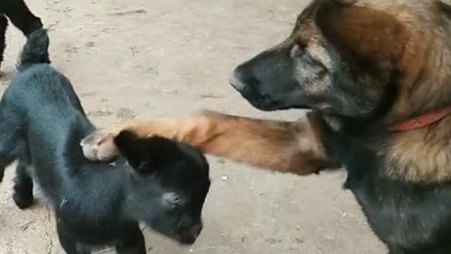 小黑羊和德牧在一起玩耍,狗子的动作好温馨,把我都给感动了!