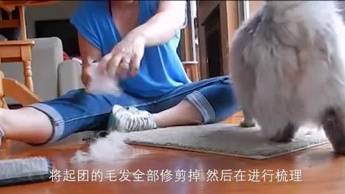 家里猫咪的毛,打结了?教你如何解开猫咪身上的毛团!