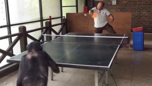 猩猩和男子打球,猩猩完胜,网友:模仿能力太强了!