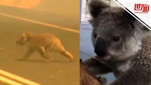 澳大利亚考拉在烟雾山火中爬行 路人冒险将其救出