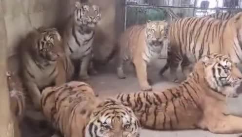 群虎:母老虎来了!比我们还虎