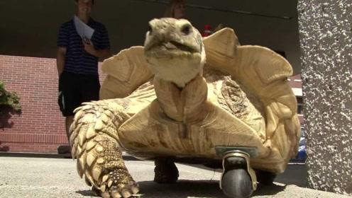乌龟意外失去腿,宠主给它安上了轮子,这下可要跑的飞快了