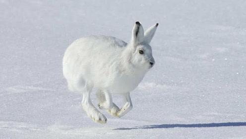 世界上最牛的兔子,跑100米只要5秒,最快时速达64公里!