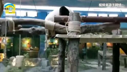 真香!武汉动物园推出闻熊猫便便服务